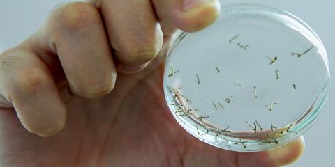 larvas-de-mosquito