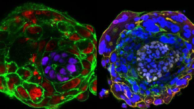 Á esquerda em roxo e à direita em lilás, o epiblasto se desenvolve no embrião. Foto - Universidade de Crambidge