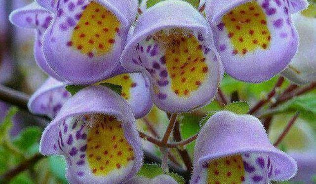 vilacea flor-mustafa
