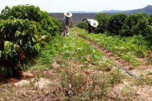 Produção de café na Fazenda Riacho da Tapera, cidade de Piatã, Chapada Diamantina Foto: Elói Corrêa/GOVBA